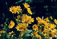 CREDIT: TH FOTO-WERBUNG/SCIENCE PHOTO LIBRARY Arnica flowers (Arnica montana).  This  perennial plant is found in the mountain pastures of central Eur...