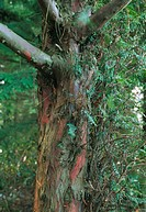 Yew tree trunk. Trunk of a Pacific, or western, yew (Taxus brevifolia). The anticancer drug taxol is isolated from the bark of this tree, which grows ...