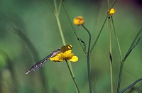 CREDIT: PEKKA PARVIAINEN/SCIENCE PHOTO LIBRARY Damselfly. Unidentified damselfly (order Odonata) resting on a flower.  Damselflies are predators of ot...