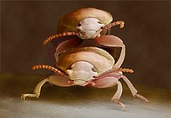 Mealworm beetles mating. Coloured scanning electron micrograph (SEM) of yellow mealworm beetles (Tenebrio molitor) mating. The female (lower frame) la...