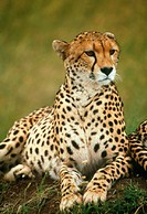 Cheetah. View of a cheetah (Acinonyx jubatus) resting on a mound. Cheetahs are carnivorous cats which inhabit the open plains of Africa and parts of A...