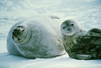 Weddell seals (Leptonychotes weddellii). Three- week-old pup (right) lying with its mother on sea ice. Weddell seals are born singly. They have fine s...