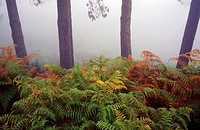 Ferns and trees in mist. Tenerife, Canary Islands. Spain