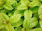 Mint (Mentha spicata)