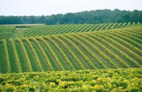 Vineyards near Segonzac, Cognac. Charente. France