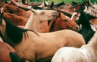 Wild horses in corral at Douglas Lake Ranch. British Columbia. Canada