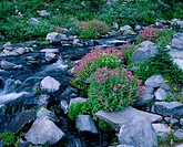Wildflowers along Paradise Creek. Mount Rainer National Park. Washington. USA