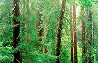 Dense redwood forest. Muir Woods National Monument. California. USA
