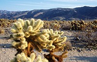 Teddy Cholla Cactus (Opuntia bigelovii). Joshua Tree National Park. California. USA