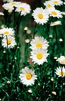 Shasta daisies, Chrysanthemum maximum