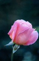 Pink Hybrid Tea Rose (Rosa 'Tiffany')