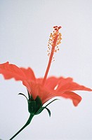 Hibiscus (Hibiscus rosa-sinensis) (thumbnail)