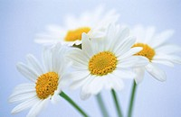 Daisies (Chrysanthemum leucanthemum)