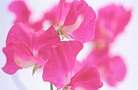 Sweet Pea (Lathyrus odoratus)