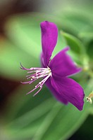 Glory Bush or Princess Flower (Tibouchina semidecandra)