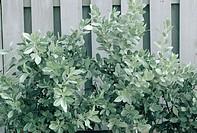 Silver Buttonwood (Conocarpus erectus sericeus)