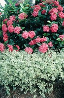 Ixora and Chinese Privet (Ligustrum sinense)