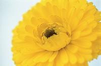 Marigold (Calendula hybr.)