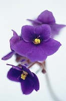 African Violet (Saintpaulia hybr.)