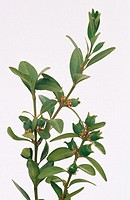 Box (Buxus sempervirens)