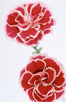 Pink Carnations (Dianthus sp.)