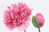 Opium Poppies (Papaver somniferum)