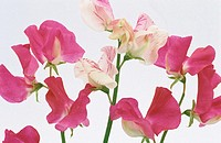 Sweet Peas (Lathyrus odoratus)