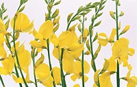 Spanish Broom (Spartium junceum)