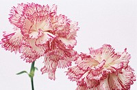 Carnations (Dianthus sp.)