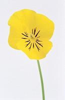 Pansy (Viola sp.)