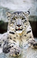 Snow Leopard (Panthera uncia). Woodland Park Zoo. Seattle. Washington. USA