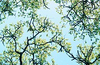Oak tree branches against sky