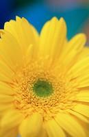 Gerbera Daisy (Gerbera hybr.)