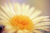 Bishop´s Cap (Astrophytum myriostigma)