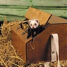 Polecat ferret
