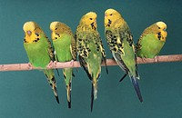 Budgerigars (Melopsittacus undulatus)
