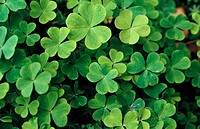 Shamrocks (Oxalis sp.)