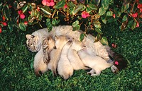Mother cat nursing kittens