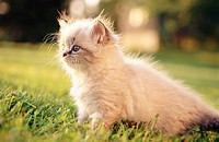 Himalayan/Persian Kitten