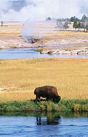 Bison (Bison bison) and geysers. Yellowstone NP. Wyoming. USA