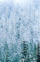 Pine trees in winter. Willamette National Forest. Oregon. USA
