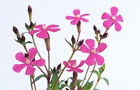 Campion, Silene sp (thumbnail)