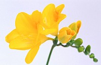 Freesia hybr