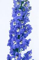 Larkspur, Delphinium hybr.