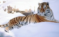 Siberian tiger (Panthera tigris altaica) in snow