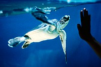 Child's hand touching aquarium glass in front of baby Green Sea Turtle (Chelonia mydas)