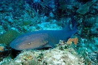 Nurse Shark Cayman Islands