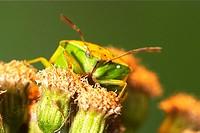 Stinkbug (fam. Pentatomidae)