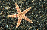 Starfish (Asteropsis sp.). Indonesia