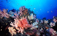 Coral and fish covered reef. Maldive Islands